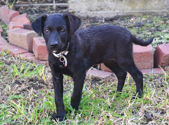 Black-Dog-Labrador-retriever-cross-puppy-cute